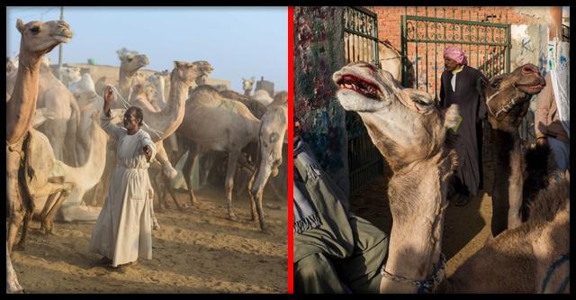 «Все для туристов»: верблюдов бьют палками по яичкам, чтобы шли бодрячком
